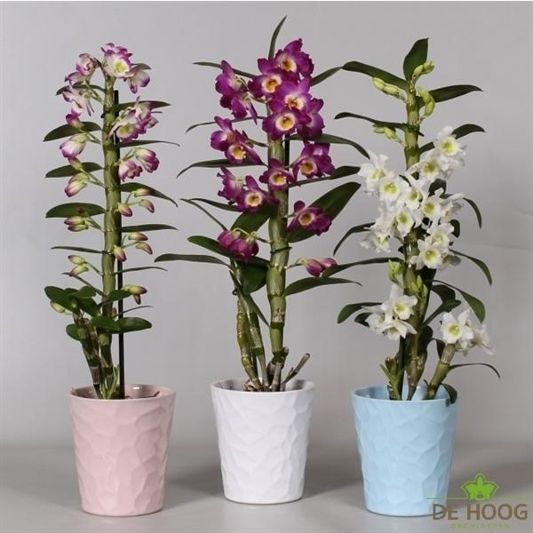 Dendrobium nobile cultivars 8 + trossen, rijpheid 1 a 2 (E-BGC-69MIX1K) - FloraXchange