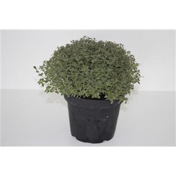 Herbachef BIO kruiden Thymus citrodorus silver queen (Citroentijm Bont)