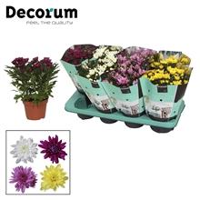 Chrysanthemum Indicum Chrysanne® 'Grandezza' Decorum
