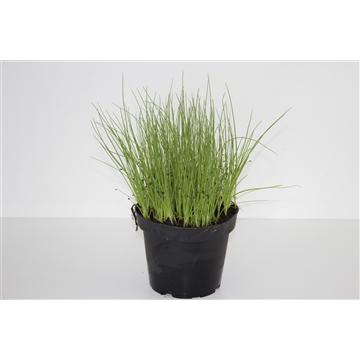 Herbachef BIO kruiden Allium schoenoprasum (Bieslook)