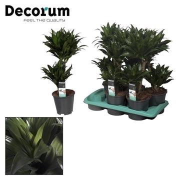 Drac Compacta 30-10 cm stam (Decorum)