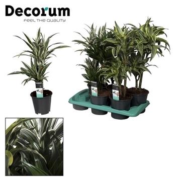 Drac Royal mix 30-10 cm stam (Decorum)