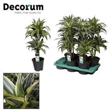 Drac Surprise 30-10 cm stam (Decorum)