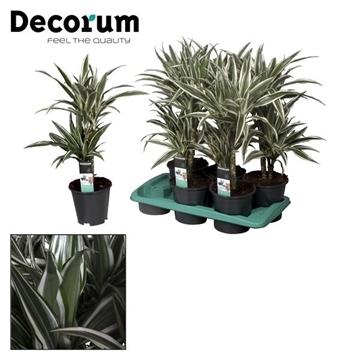Drac White Stripe 30-10 cm stam (Decorum)