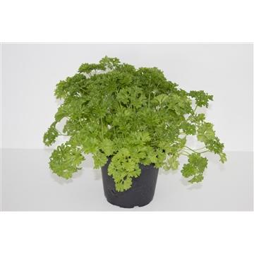 Herbachef BIO kruiden Petroselinum crispum (peterselie)