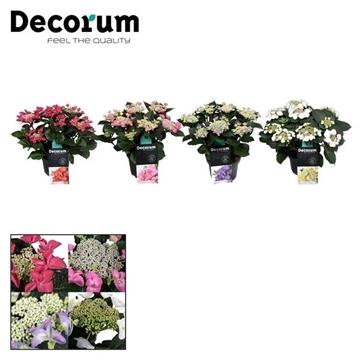 Hydrangea Teller  7 - 12 kop div. kleuren per kar (Decorum)