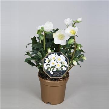 Helleborus Gold Collection® 'Diva' in gouden pot