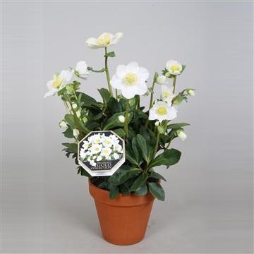 Helleborus Gold Collection® 'Diva' in stenen pot