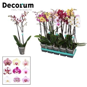 Phalaenopsis 2-Tak 6 kleuren Mix 70/75cm R2-3