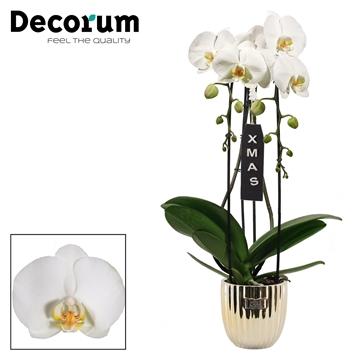 Kerst: Phalaenopsis cascade 2 tak wit in Bijoux Gold XMAS