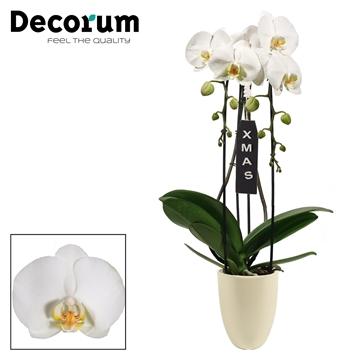 Kerst: Phalaenopsis cascade 2 tak wit in Pearl XMAS