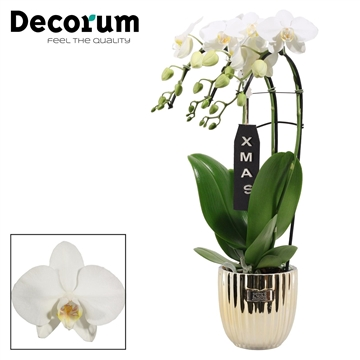 Kerst: Phalaenopsis triple cascade wit in Bijoux Gold XMAS
