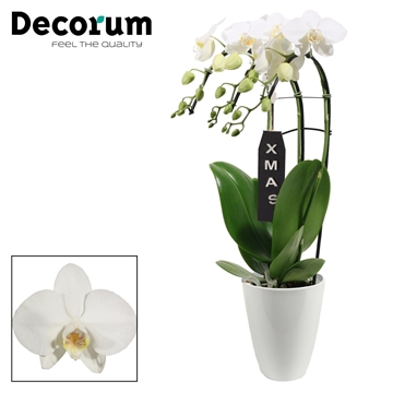 Kerst: Phalaenopsis triple cascade wit in Carly XMAS