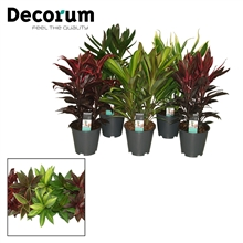 Cordyline mix toef 19