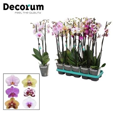 Phalaenopsis 3-Tak mix 60 cm R1-2