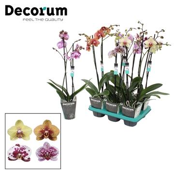 Phalaenopsis 2-Tak specialty mix R2-3