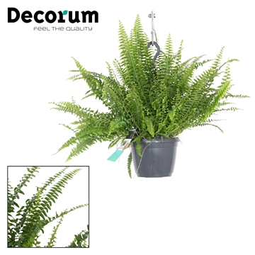 Nephrolepis Exaltata Green Lady