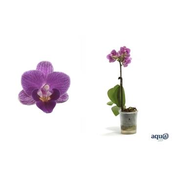 Phal p06 l lady violet queen 1t6+
