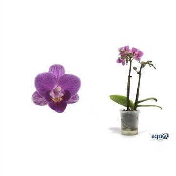 Phal p06 l lady violet queen 2t10+