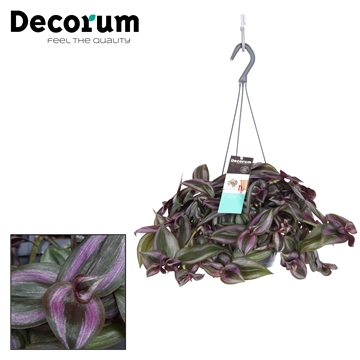 Tradescantia Little Hill