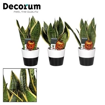Collectie Black & White - Sansevieria Halloween in Amy 2 tone (Decorum)