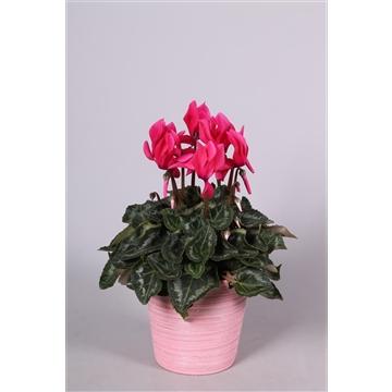 Cyclamen in roze 'Adele' keramiek