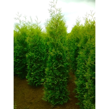 Thuja occidentalis 'Brabant', plantmaat 240-260