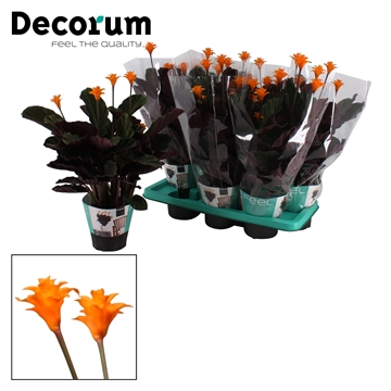 DECORUM-Calathea Crocata 3/4