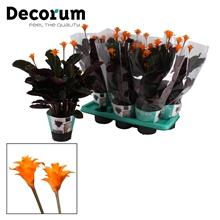 Calathea Crocata Candela 3/4 DECORUM