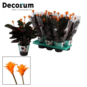 DECORUM-Calathea Crocata 7/8 bloem