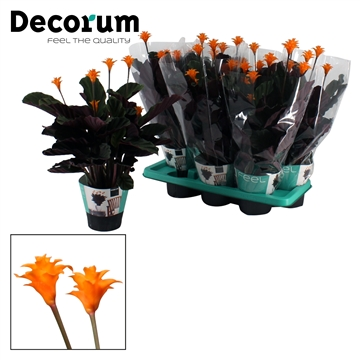 DECORUM-Calathea Crocata 5/6