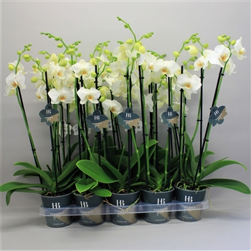 phalaenopsis wit 3 tak Gorgeous Gold