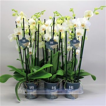 phalaenopsis wit 5 tak Gorgeous Gold