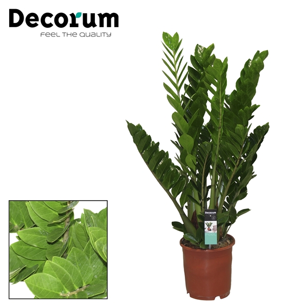 zamioculcas 8 veren deco 24 decorum. Black Bedroom Furniture Sets. Home Design Ideas