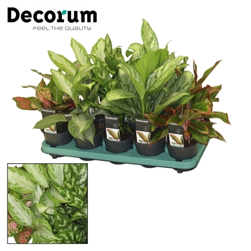 Aglaonema mix