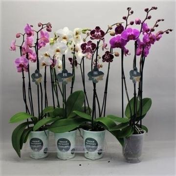 Phalaenopsis gemengd 4 tak Gorgeous Gold H20BLOOM