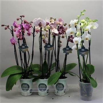 Phalaenopsis gemengd 5 tak Gorgeous Gold H20BLOOM