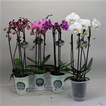 Phalaenopsis cascade gemengd 2 tak Gorgeous Gold H20BLOOM
