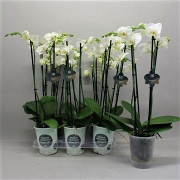 Phalaenopsis wit 4 tak Gorgeous Gold H20BLOOM