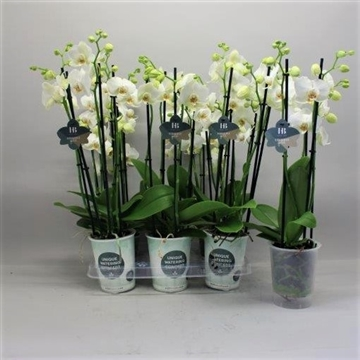 Phalaenopsis wit 5 tak Gorgeous Gold H20BLOOM