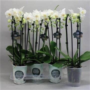 Phalaenopsis cascade wit 2 tak Gorgeous Gold H20BLOOM