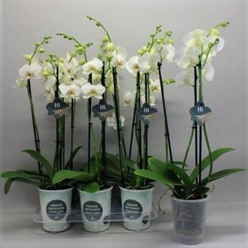 Phalaenopsis wit 3 tak Gorgeous Gold H20BLOOM