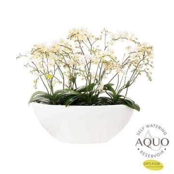 Willd Orchid wit in Dorant (3dagen levertijd)
