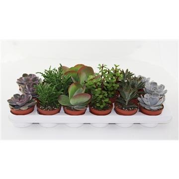 Succulenten op Rij