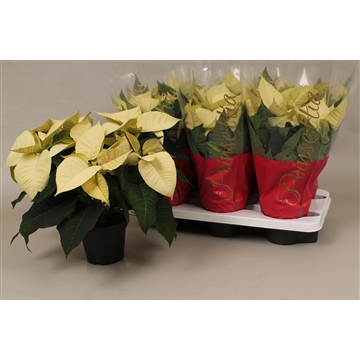 Poinsettia polar white