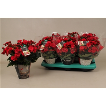 Begonia  grace  cozy