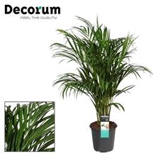 Dypsis lutescens (Areca) 110-120cm (Decorum)