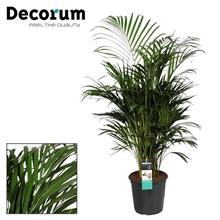 Dypsis lutescens (Areca)130-140cm (Decorum)