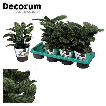 Calathea Freddie (Decorum)