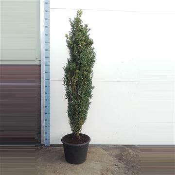 Buxus sempervirens Graham Blandy - 140cm Zuilvorm